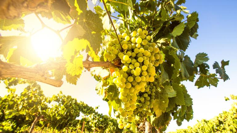 Witte druivensoorten: een overzicht